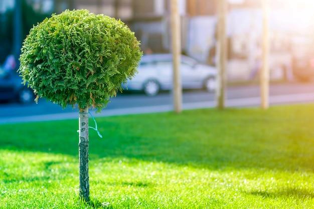 Pinheiro decorativo jovem com chicote redondo folhagem bem aparada, planta ornamental, crescendo na grama verde ao longo da rua da cidade num dia ensolarado de verão