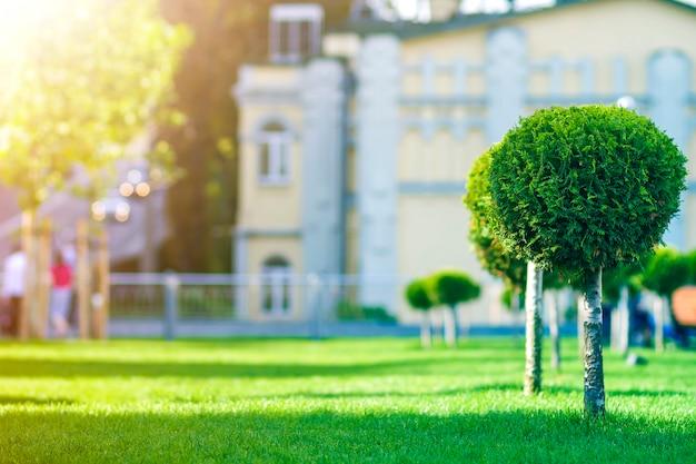 Pinheiro decorativo novo com chicote redondo folhagem ordenadamente aparada, planta ornamental que cresce na grama verde ao longo da rua da cidade no dia de verão ensolarado no fundo desfocado de carros em movimento.
