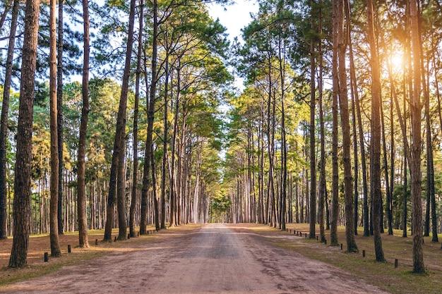 Pinheiro e estrada na floresta.