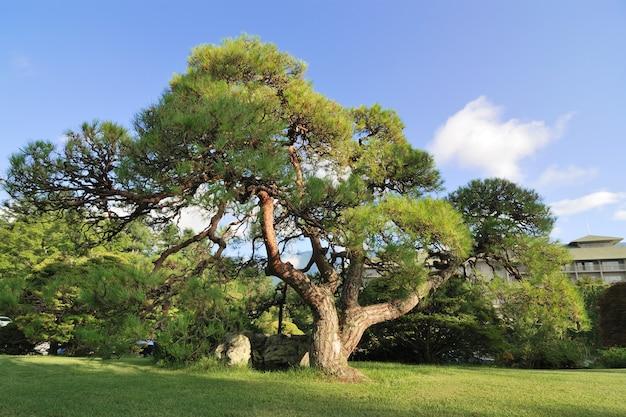 Pinheiro japonês grande e espalhado no gramado em um dia ensolarado de verão