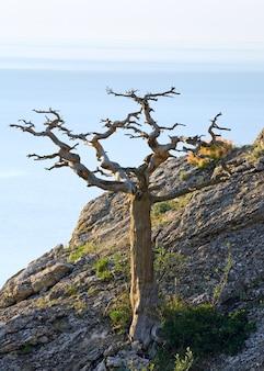 Pinheiro murcho na encosta da montanha (reserva