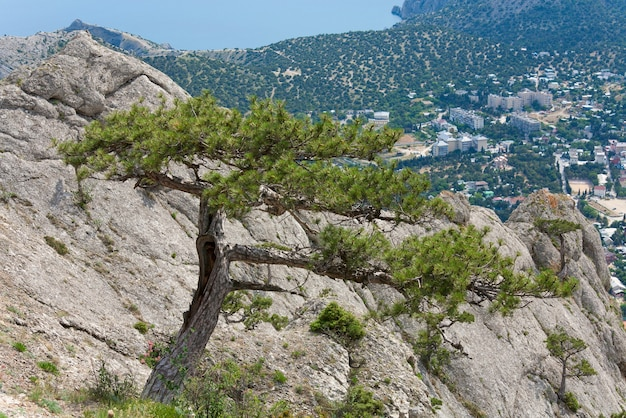 Pinheiro na colina de montanha de verão (assentamento