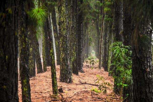 Pinheiro névoa estrada linda cena