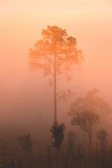 Pinheiro rastejante, pinheiro manso anão, pinheiro mugo