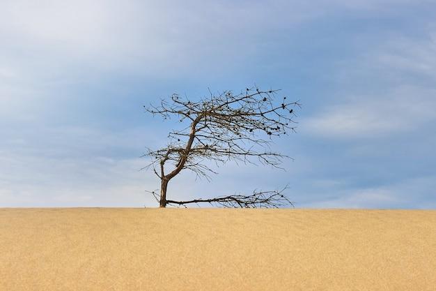 Pinheiro seco e nodoso em uma duna de areia sob um céu azul. deserto quente