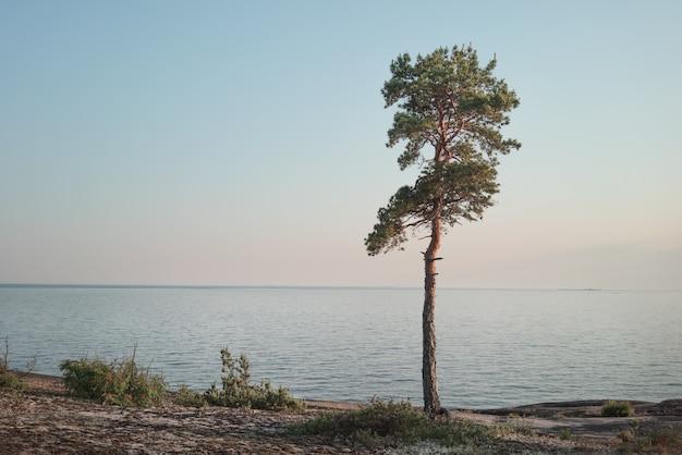 Pinheiro solitário à beira-mar
