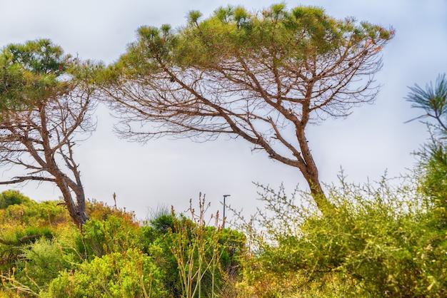 Pinheiro soprado pelo vento com galhos todos para um lado