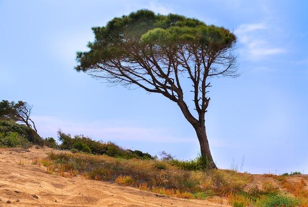 Pinheiro varrido pelo vento inclinado para o lado em uma duna costeira