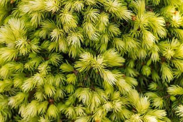 Pinheiro verde jovem, muitas agulhas nos galhos, árvore espinhosa e perene, árvore linda, close-up das agulhas