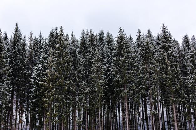 Pinheiros altos e verdes na neve nas montanhas, vista frontal, paisagem de inverno.