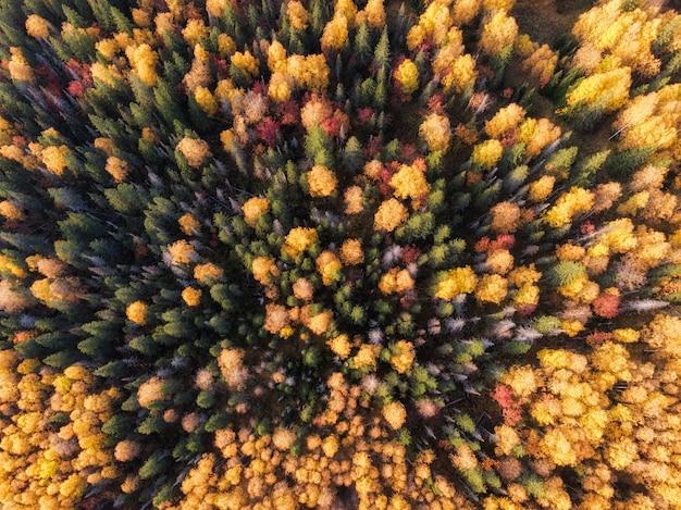 Pinheiros, árvores de outono, fundo de longe.