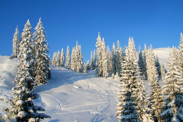 Pinheiros cobertos de neve em montanhas de inverno