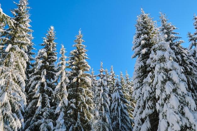 Pinheiros cobertos de neve fresca caída na floresta de montanha de inverno em um dia frio e brilhante.