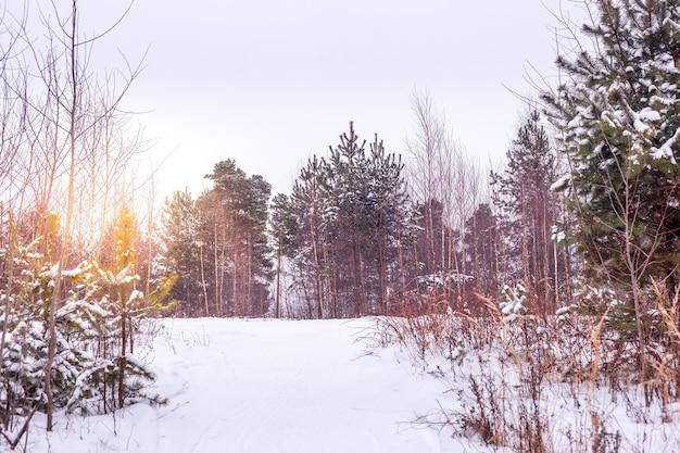 Pinheiros cobertos de neve no pôr do sol da noite gelada. belo panorama de inverno