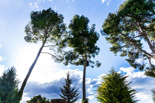 Pinheiros com fundo de céu azul e nuvens brancas e cinzentas.