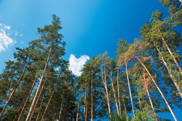 Pinheiros contra o céu azul com nuvens. luz do dia