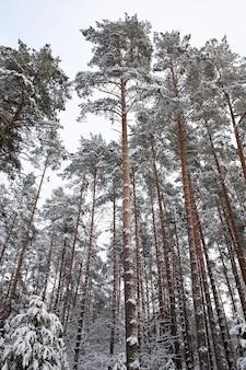 Pinheiros crescendo na floresta