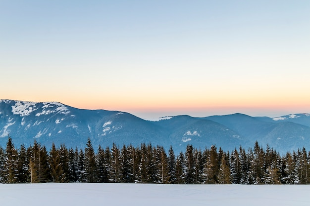 Pinheiros de abeto, céu azul com luz do sol e altas montanhas dos cárpatos no fundo