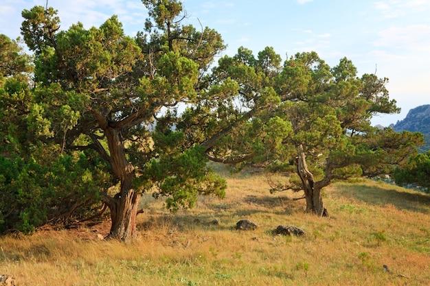 Pinheiros na colina de montanha de verão (reserva