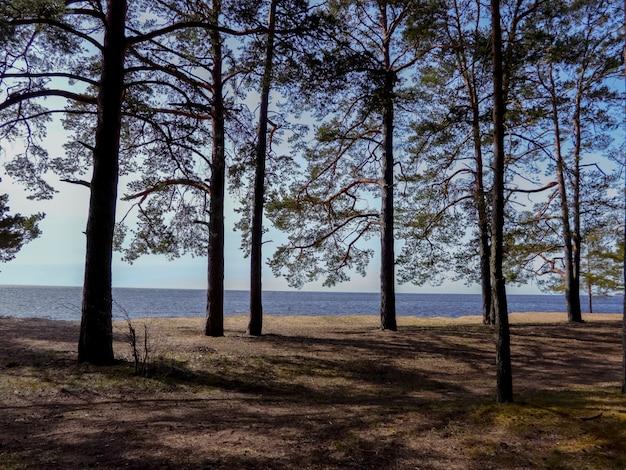 Pinheiros na costa arenosa do golfo da finlândia