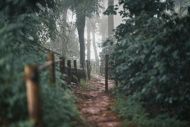 Pinheiros na estação chuvosa e nevoeiro na tailândia.