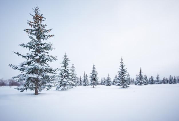 Pinheiros na neve do inverno