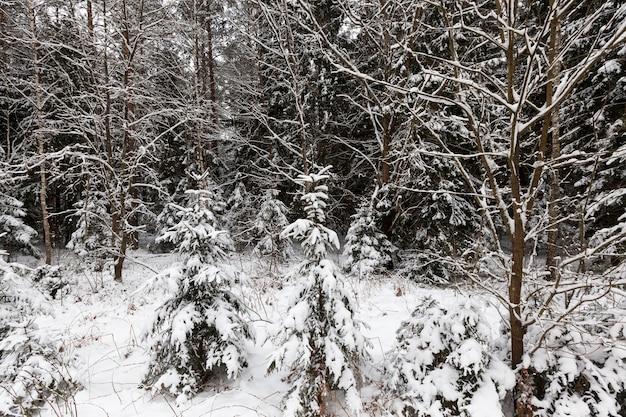 Pinheiros na temporada de inverno clima de inverno no parque