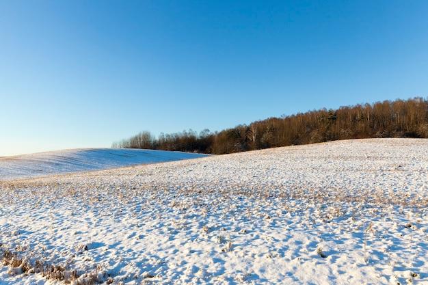 Pinheiros na temporada de inverno na neve após a queda de neve. céu azul e dia ensolarado
