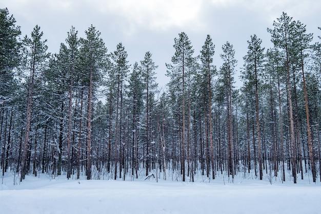 Pinheiros nevados cenário