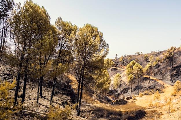Pinheiros queimados queimados após o incêndio em nerva, andaluzia