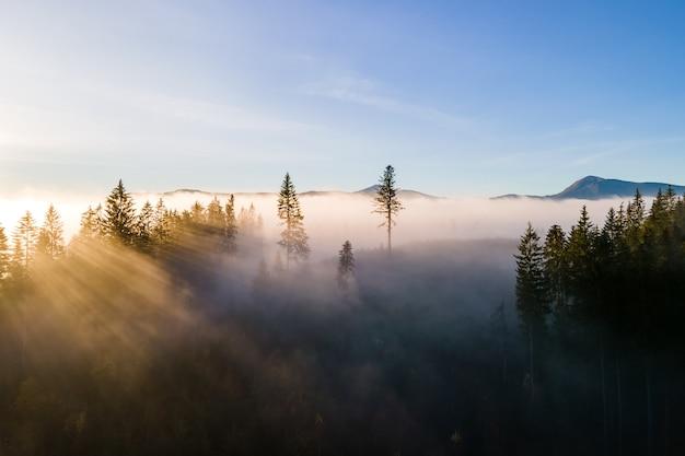 Pinheiros verdes escuros na sombria floresta de abetos com os raios de luz do nascer do sol brilhando através dos galhos nas montanhas nebulosas do outono.
