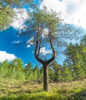 Pinho com um tronco bifurcado em um dia ensolarado de verão. região de leningrado.
