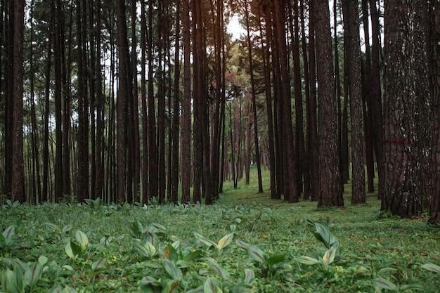 Pinho na floresta e pastagem.