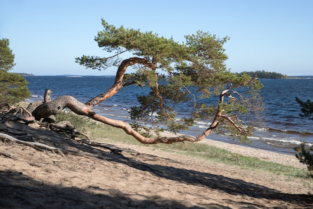 Pinho velho curvo na costa. pinho solitário com um barril curvo, lago no fundo.