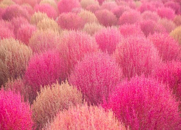 Pink muhly e kochia colorido no outono no haneul park, sul-coreano