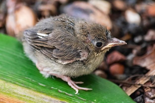 Pintainho do blackcap euro-asiático (sylvia atricapilla heineken)