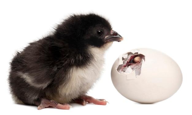 Pintainho - gallus gallus domesticus ao lado de seu ovo