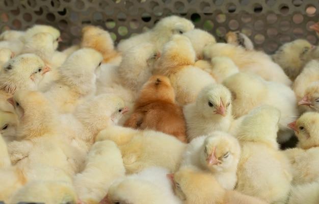 Pintainhos amarelos novos do bebê em uma exploração avícola.