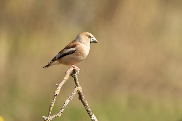 Pintassilgo fêmea com plumagem de época de acasalamento ao amanhecer