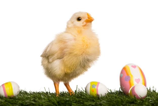 Pintinho (8 dias de idade) em pé na grama com ovos de páscoa