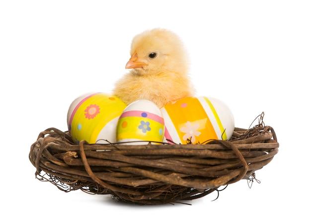 Pintinho (8 dias de idade) em um ninho com ovos de páscoa