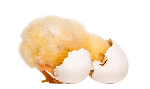 Pintinho (8 dias de idade) olhando para a casca do ovo