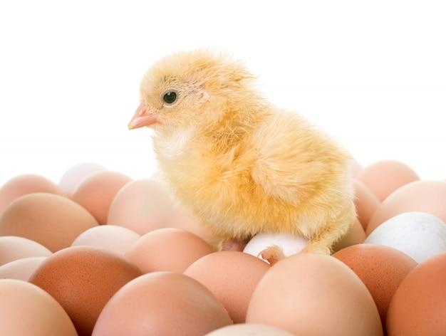 Pintinho e ovos