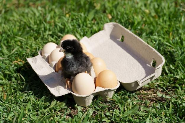 Pintinho sentado em uma bandeja com ovos em um fundo de grama verde