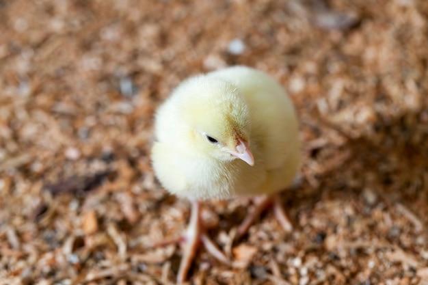 Pintinhos de frango melhorado geneticamente em uma granja convencional