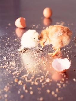 Pintinhos recém-nascidos e cascas de ovos