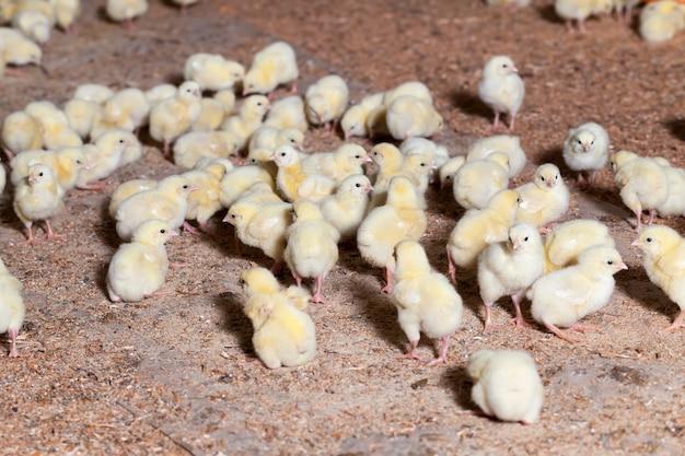 Pintos de frango melhorado geneticamente em uma granja convencional, onde frangos de corte são criados para carne e outros produtos avícolas, jovens frangos de carne.