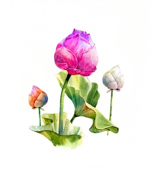 Pintura da ilustração da aguarela das folhas e lótus no fundo branco