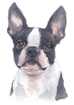 Pintura em aquarela de boston terrier