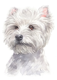 Pintura em aquarela de west highland white terrier